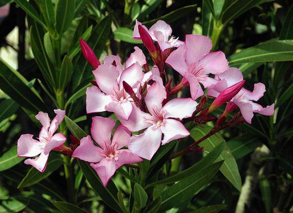 oleandro in fiore