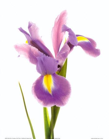 iris fiore-2667122819453046271